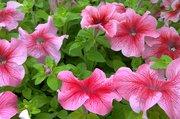 Цветущая рассада цветов. Липецк Сошки.Мир растений. петунья,  бальзамин