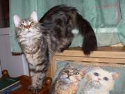 Продаю молодую кошку породы мейн-кун.